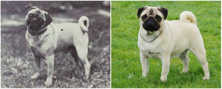 Фото №10 - Как изменились породы собак за 100 лет