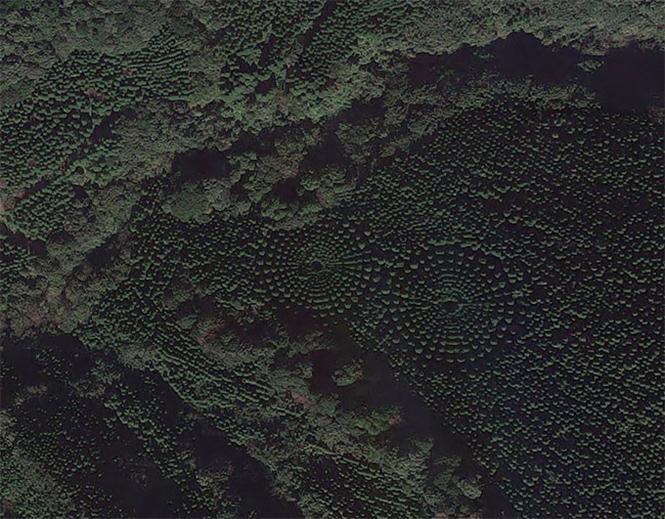 Фото №3 - Круглый лес, на выращивание которого японцы потратили 50 лет