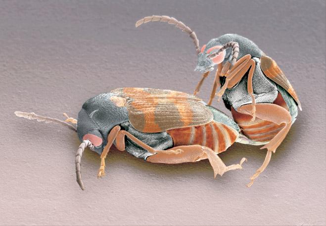 Четырехпятнистая зерновка Callosobruchus maculatus