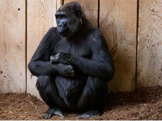 Реверсивный поиск Google не распознает горилл. Да-да, из-за обвинений в расизме