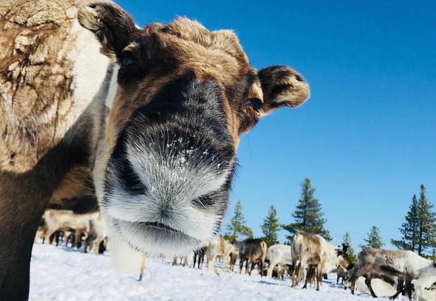 Фото №1 - На Ямале оленевод подал заявку на митинг в тундре с участием людей, собак и оленей