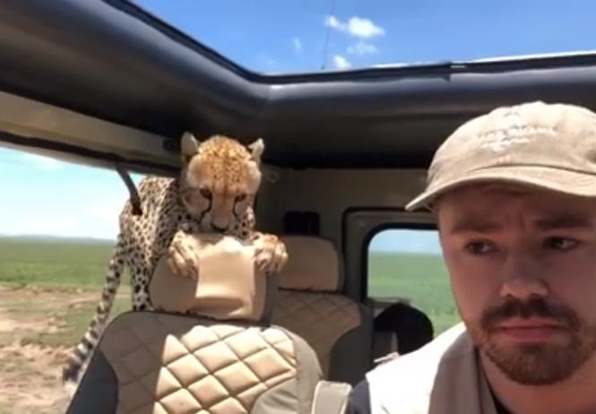Гепард запрыгнул в машину во время сафари! Дикое ВИДЕО