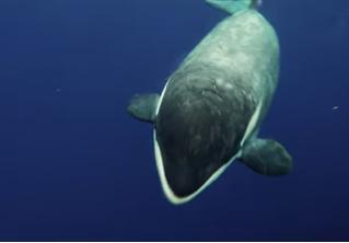Кит-убийца принес дайверу поесть и оказался весьма мил (подводное видео)