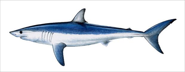 Фото №13 - Рыба-Гитлер. Исчерпывающий материал об акулах, после которого ты больше никогда не поедешь на море или океан