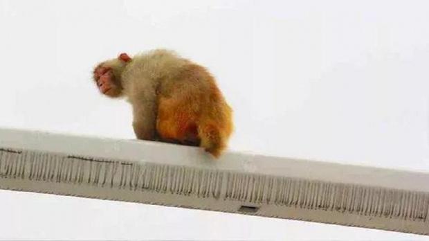 Фото №1 - Самое смешное ДТП века: автомобилистка приняла зад обезьяны за красный свет светофора — и дала по тормозам!