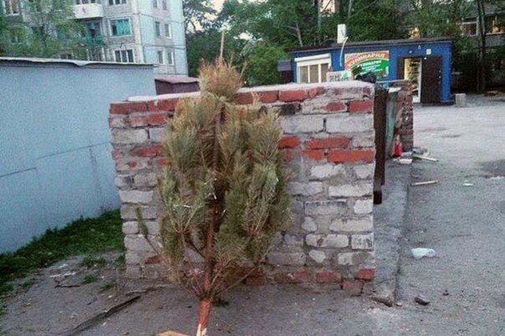 Фото №1 - Установлено, сколько россиян выбрасывают новогоднюю елку летом