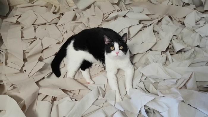 Фото №1 - Хозяева обрадовали кота комнатой из 100 рулонов туалетной бумаги (видео)