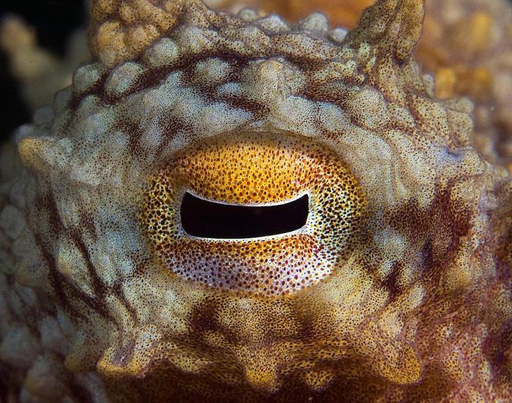 Зрачок осьминога