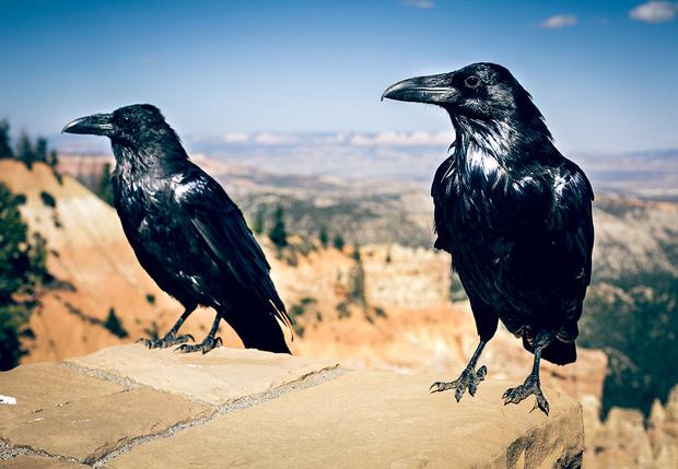 Фото №1 - Мужчина два года кормил ворон, и те в ответ принесли ему странный подарок