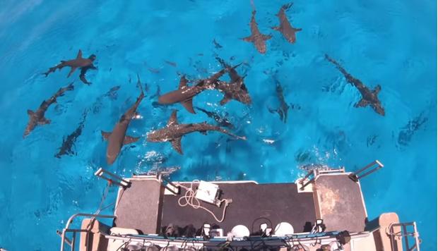 Фото №1 - Может ли акула почувствовать каплю крови за несколько километров? Видеоэксперимент