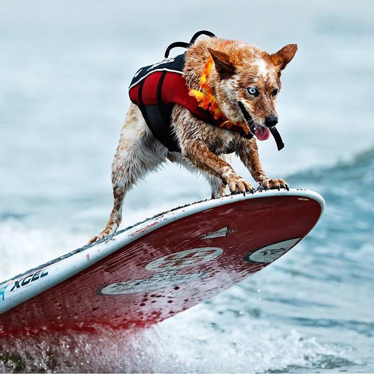 Фото №1 - Созвездие мокрых псов: лучшие фотографии с собачьих соревнований по серфингу