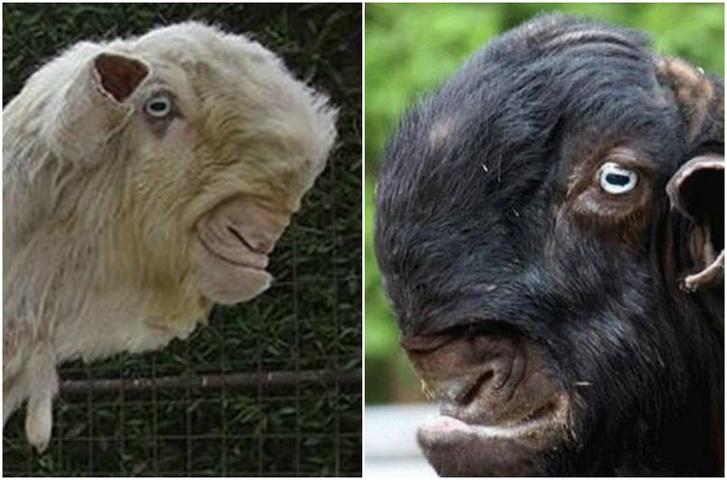 Фото №1 - Дамасские козы, пожалуй, самые диковинные козы в мире