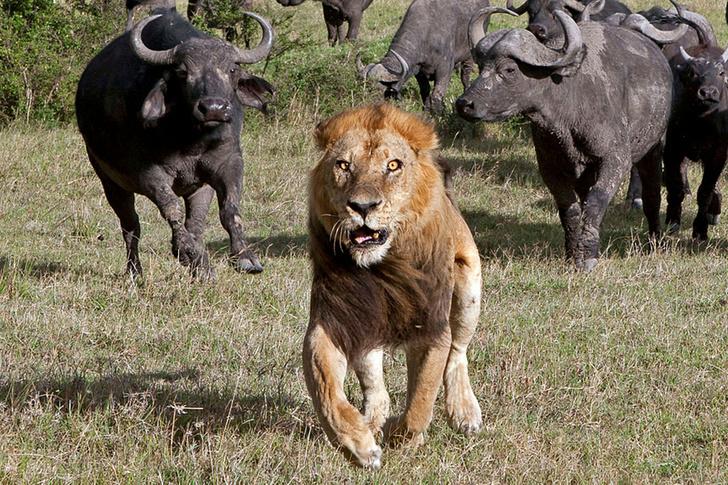 Лев и буйволы