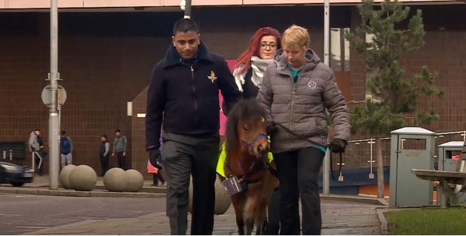 Милота дня! В Великобритании подготовили первого пони-поводыря