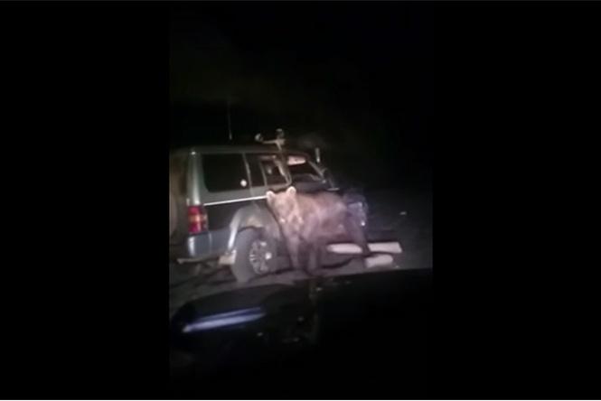 Медведь отомстил туристам, сбившим его машиной. Видео!