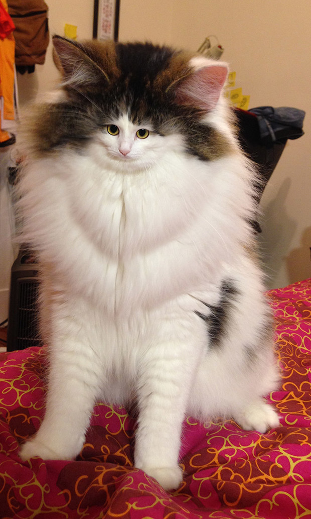 Фото №1 - Коты с крошечными мордами!