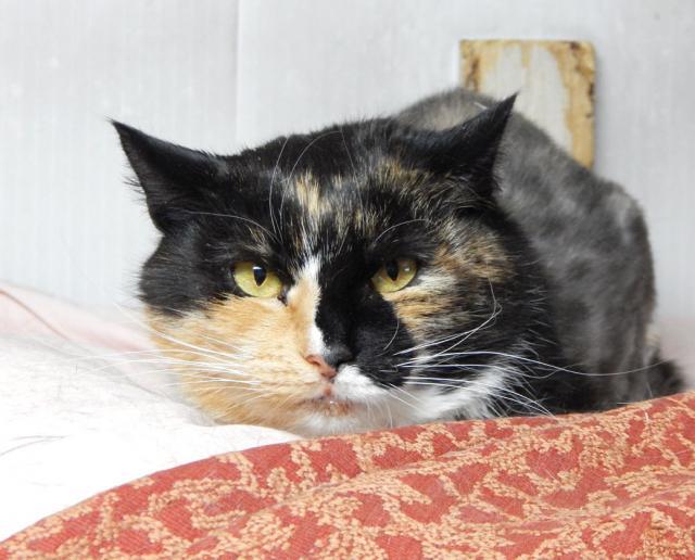 Фото №2 - Котопёс недели: возьми из приюта трехцветную кошку Дикси или нежнейшего пса Мэттью