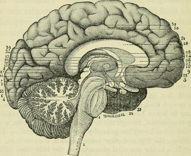 Фото №1 - Стартап Nectome сохранит все данные твоего мозга. Правда, от процедуры ты умрешь