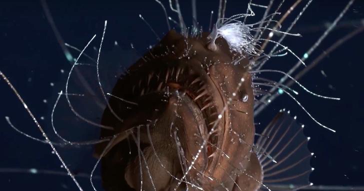 Фото №1 - Порно года: спаривающиеся удильщики (ВИДЕО)