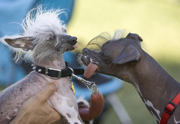 Фото №1 - Выбрана «Самая уродливая собака — 2019»