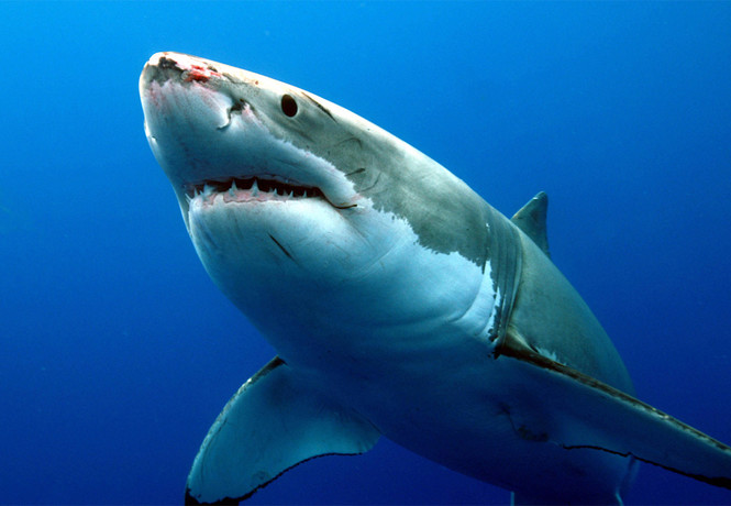 Секс у акулы