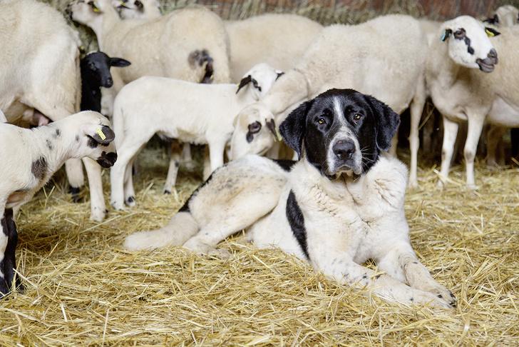 Фото №5 - Псыхология: краткая история дружбы собак и людей