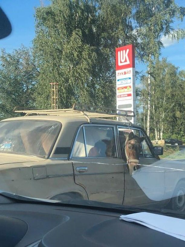 Фото №2 - Конь в авто: очевидцы сняли очень странную  поездку непарнокопытного в «Жигулях»
