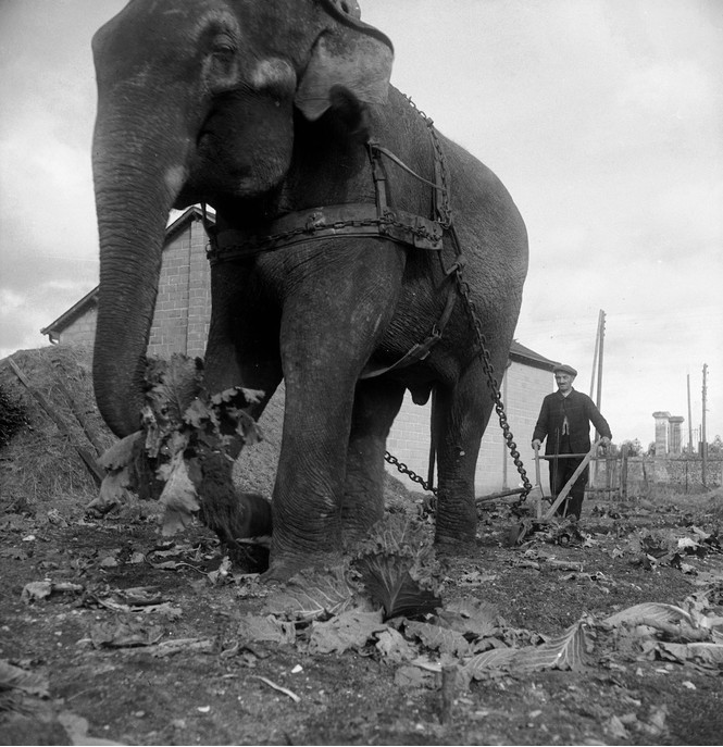 Слон на службе у крестьян