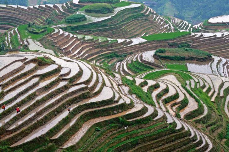 Фото №1 - Китайцы вырастили рис в аравийской пустыне, поливая его морской водой
