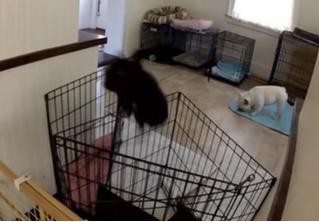 Эта собака так дерзко сбегает из клетки, что за ней пришлось установить слежку