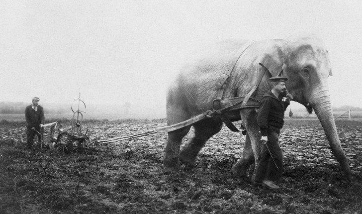 Слоны на пашне