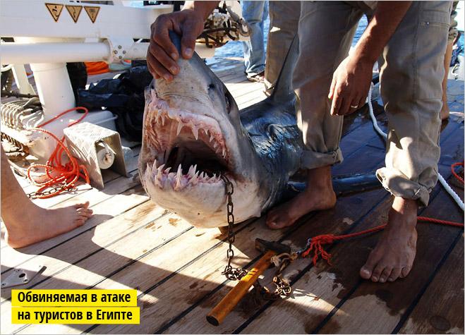Фото №6 - Рыба-Гитлер. Исчерпывающий материал об акулах, после которого ты больше никогда не поедешь на море или океан
