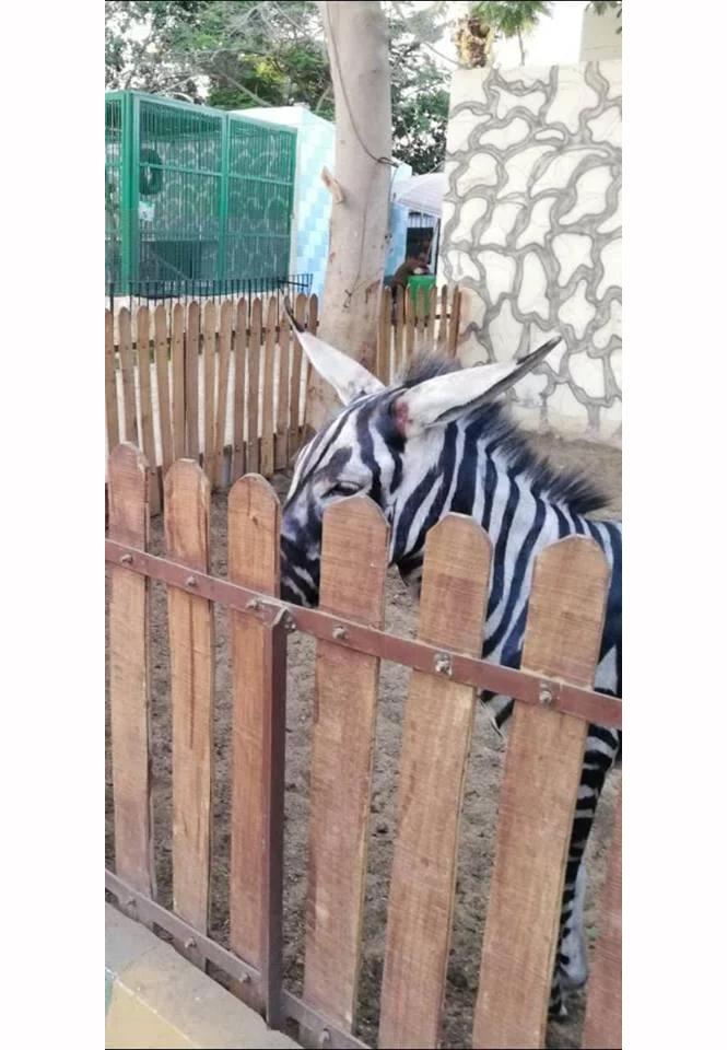 Фото №3 - В зоопарке перекрасили осла в зебру