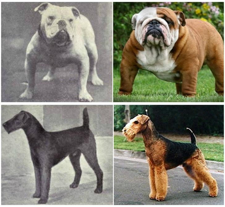 Фото №1 - Как изменились породы собак за 100 лет