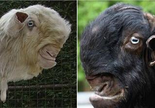 Дамасские козы, пожалуй, самые диковинные козы в мире