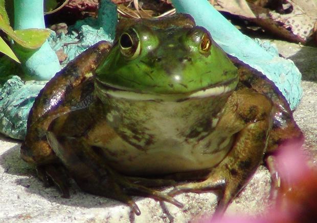 Фото №7 - 20 лучших фото жаб всех времен и народов!