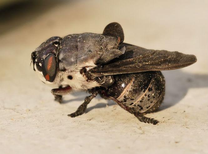 Фото №5 - Пять самых опасных насекомых