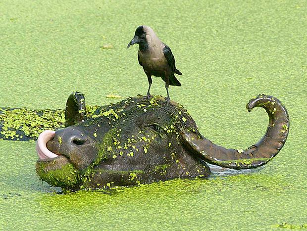 Вороны моделируют поведение других людей животных
