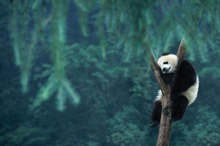 Панда спит на дереве