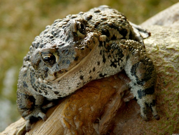 Фото №18 - 20 лучших фото жаб всех времен и народов!