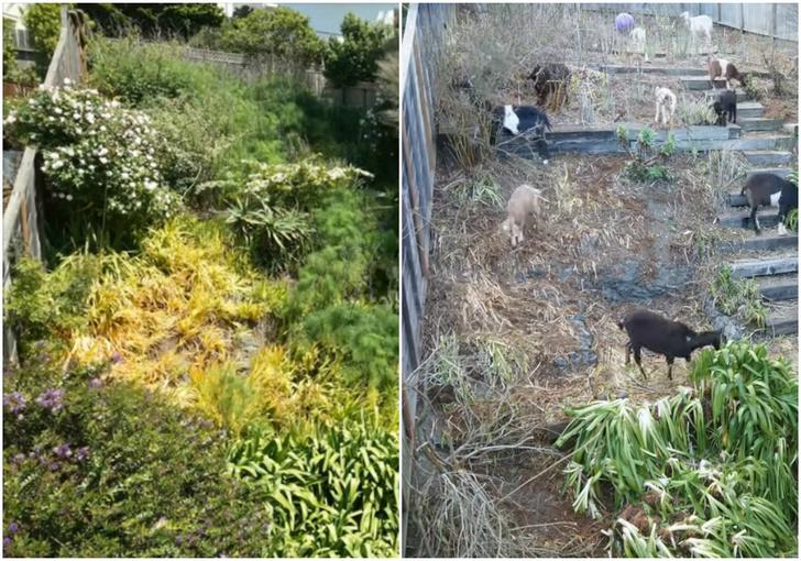 Фото №1 - Один и тот же сад до прихода и после ухода толпы коз (ускоренное видео)