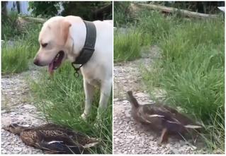 Твит дня: утка притворяется мертвой, чтобы обмануть собаку (видео)