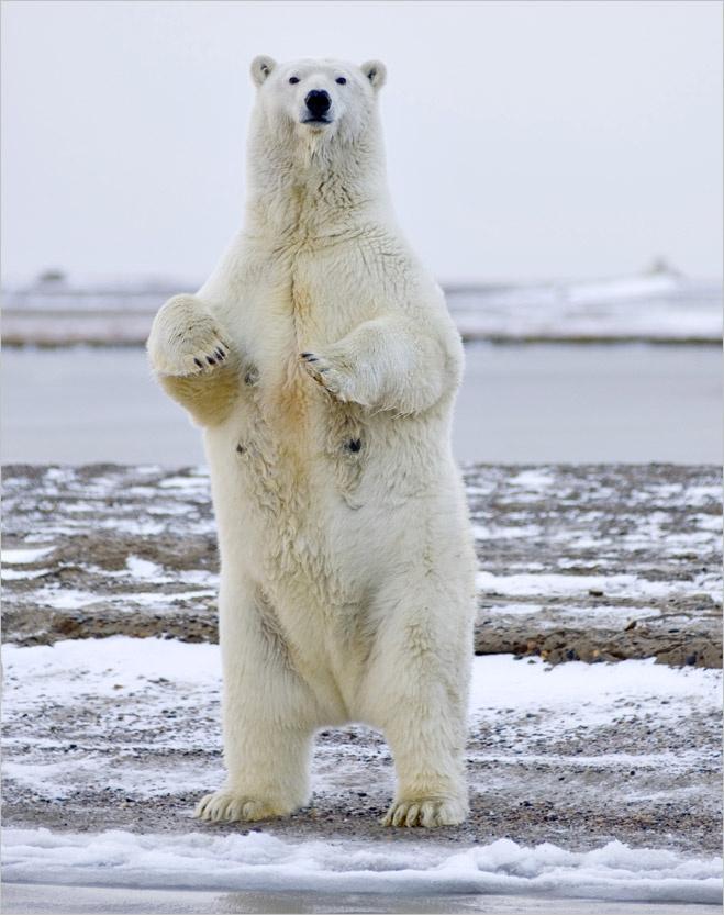 «Белый медведь съел мое лицо!» Рассказ бывшего любителя природы