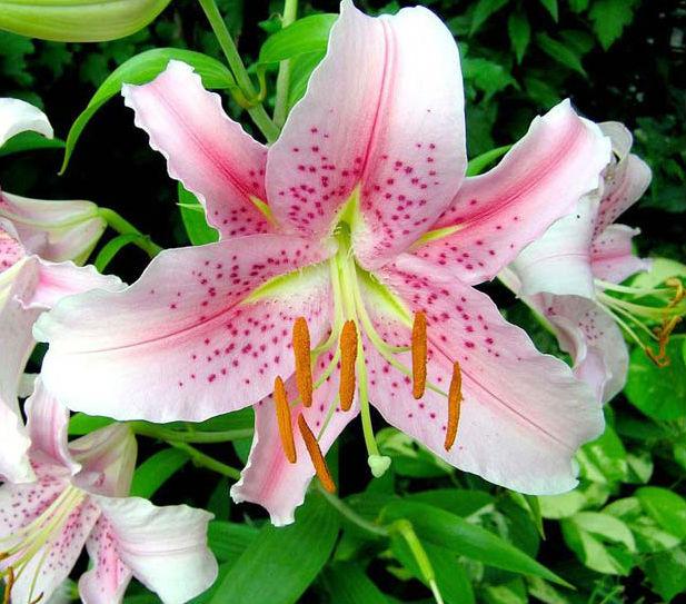 Фото №7 - 10 растений для ленивых садоводов