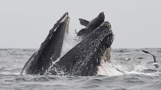 Фото №2 - Фотограф запечатлел момент, как кит случайно проглотил и выплюнул морского льва