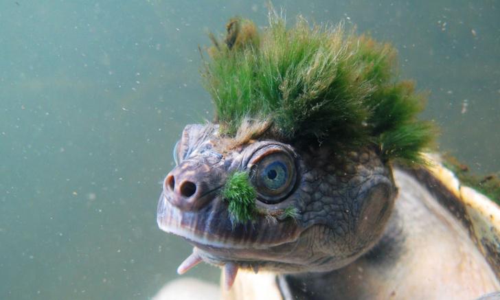 Фото №1 - Черепаха, которая выглядит как панк и дышит гениталиями, попала в Красную книгу!