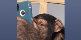 Видео дня: шимпанзе тупит в Instagram