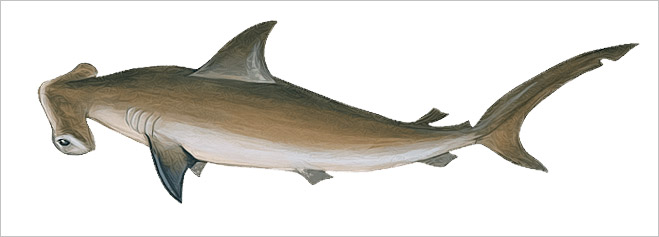 Фото №11 - Рыба-Гитлер. Исчерпывающий материал об акулах, после которого ты больше никогда не поедешь на море или океан