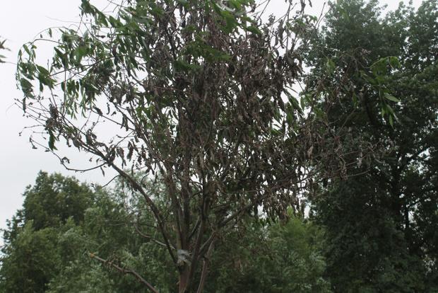 Фото №1 - Питерские коммунальщики отремонтировали засохшие деревья, приклеив к ним зеленые ветки