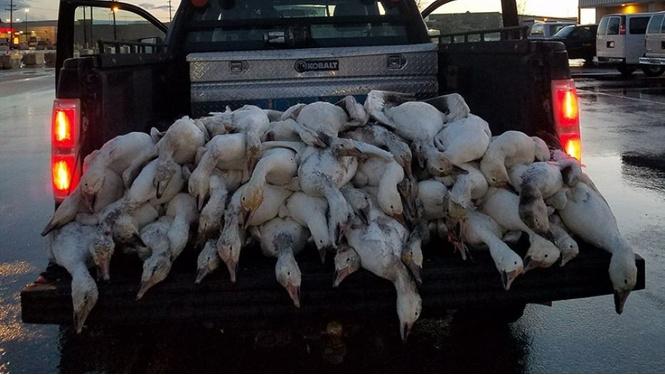 В США выпали осадки из гусей